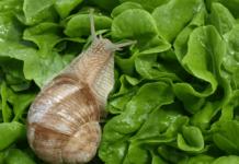 Protéger les plantes contre les escargots et limaces