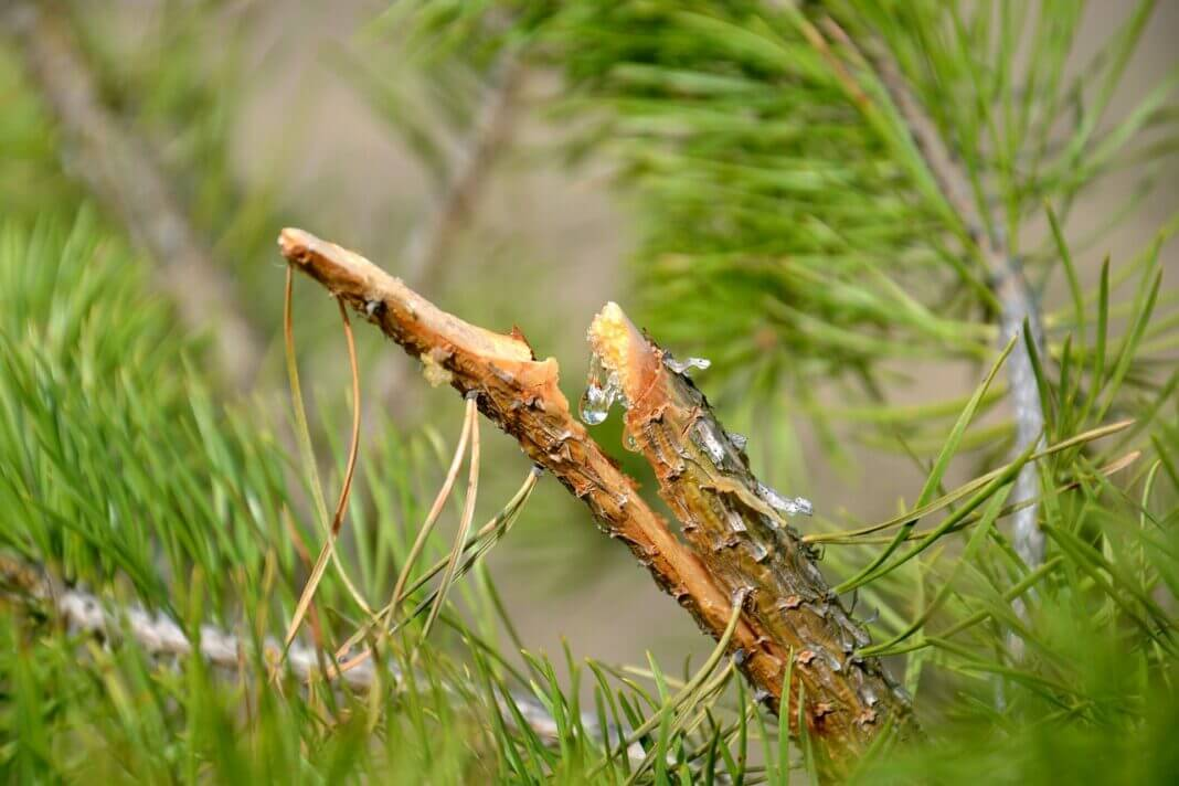 mastic cicatrisant pour arbre