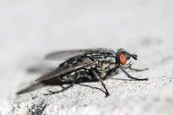 astuces contre les mouches