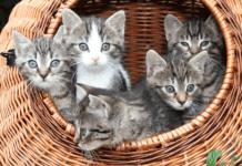 socialisation d'un chaton