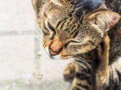 Puces de chat