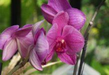 engrais pour orchidée