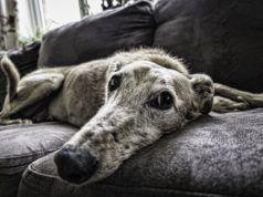 désodorisant naturel quand on a des chiens à la maison