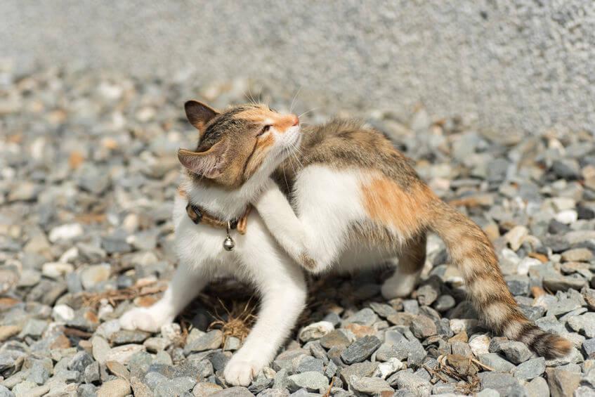 astuces naturelles contre les puces de chat